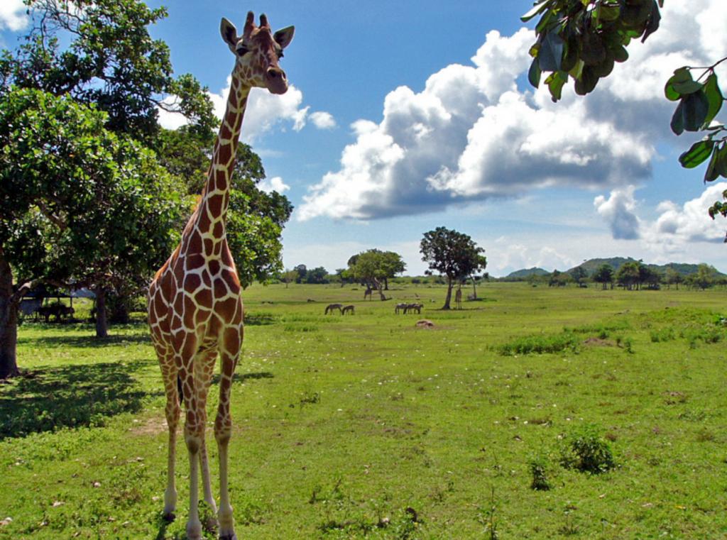卡拉依特岛野生动物园的小长颈鹿
