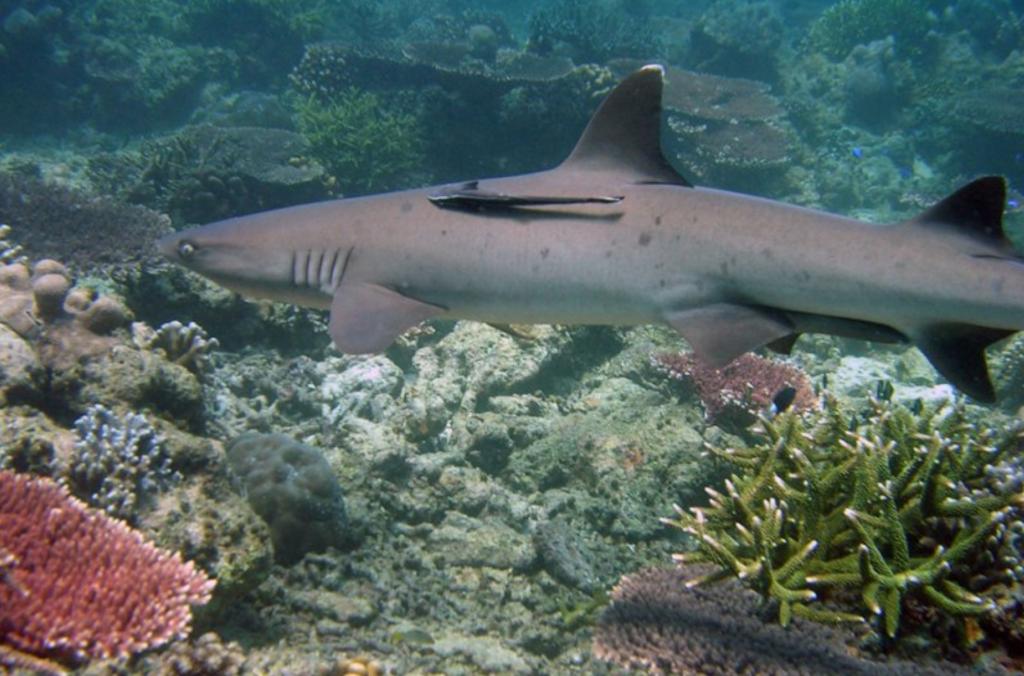 图巴塔哈群礁的白鳍鲨